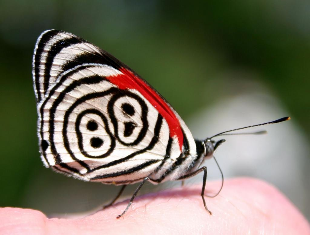 Eighty Eight Butterfly (diaethria Anna) Farfalla 88