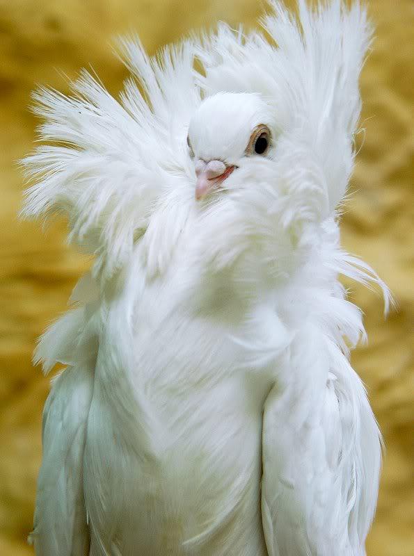 Fancy Pigeons 0
