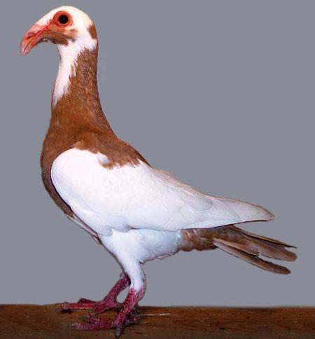 Fancy Pigeons (1)
