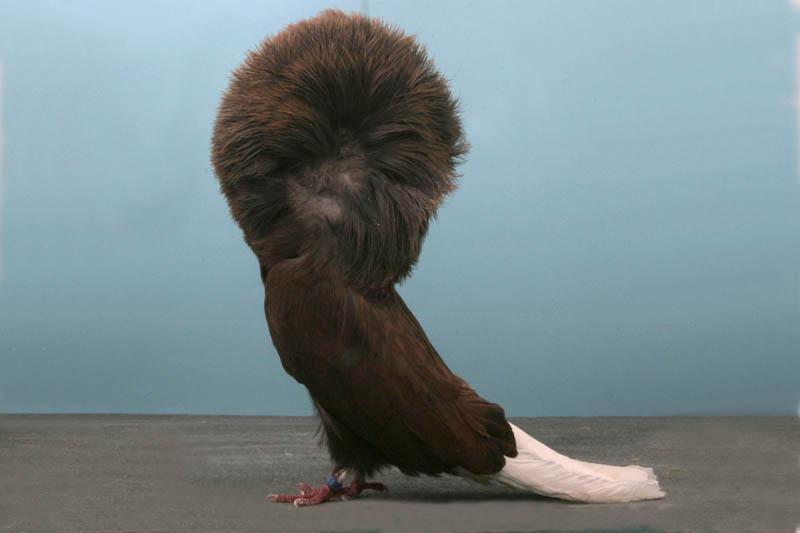 Fancy Pigeons (3)