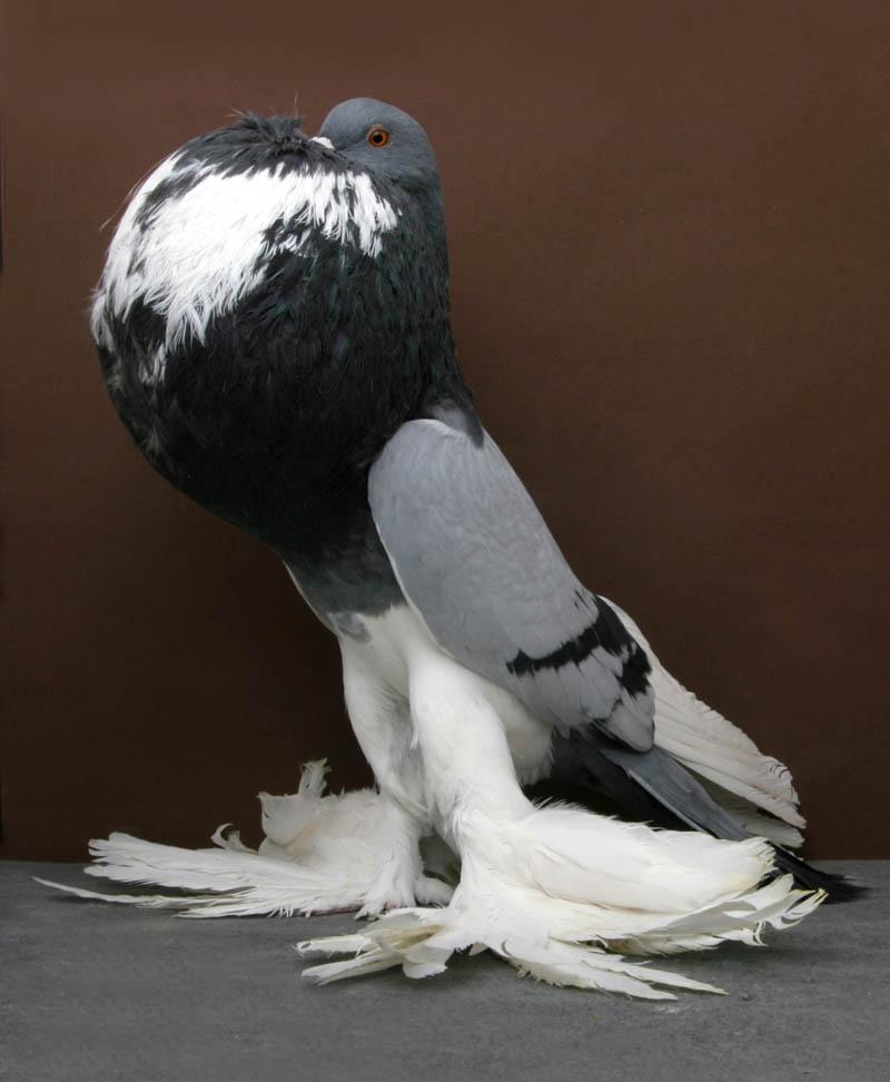 Fancy Pigeons (5)