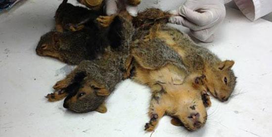 Re degli scoiattoli