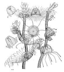 Turritopsis nutricola