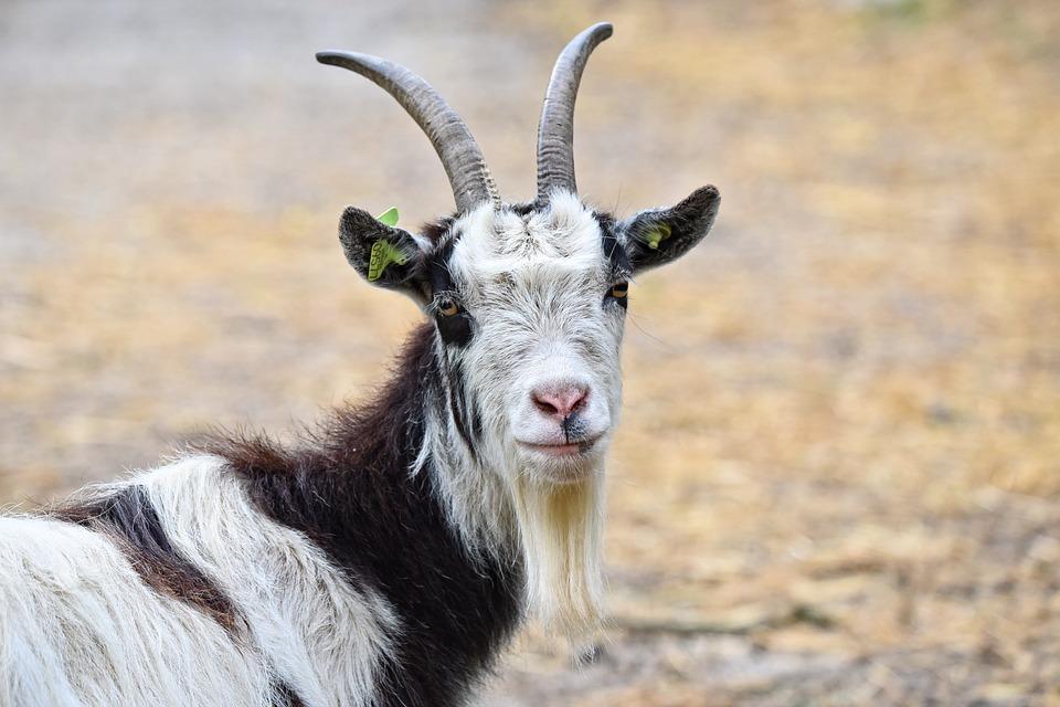 Capra Capra Domestica Animale Mammifero Ruminante