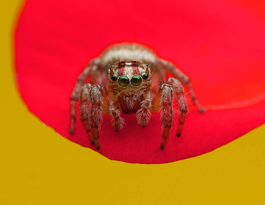 Insect Ragno Spider Incubi